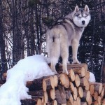 Quicksilver on log pile